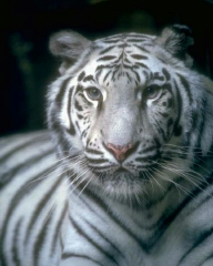 This is a white Siberian Tiger